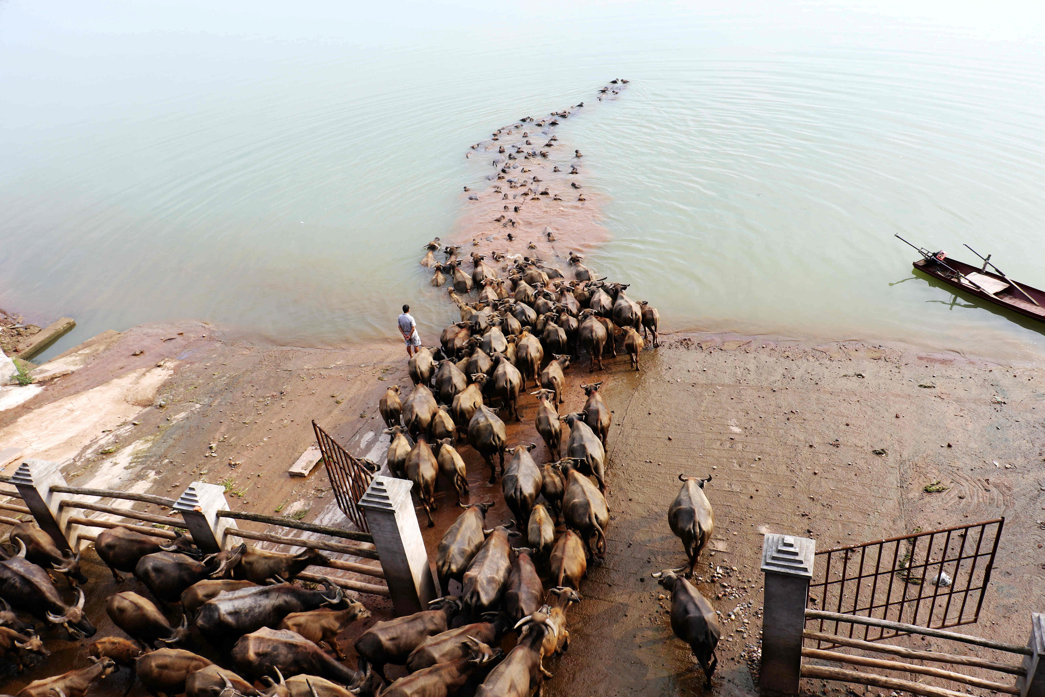 A man watches buffalos cross a river as they head to another grazing area, in Nanchong, Sichuan province, China, August 10, 2016. Picture taken August 10, 2016. China Daily/via REUTERS ATTENTION EDITORS - THIS IMAGE WAS PROVIDED BY A THIRD PARTY. EDITORIAL USE ONLY. CHINA OUT. NO COMMERCIAL OR EDITORIAL SALES IN CHINA.
