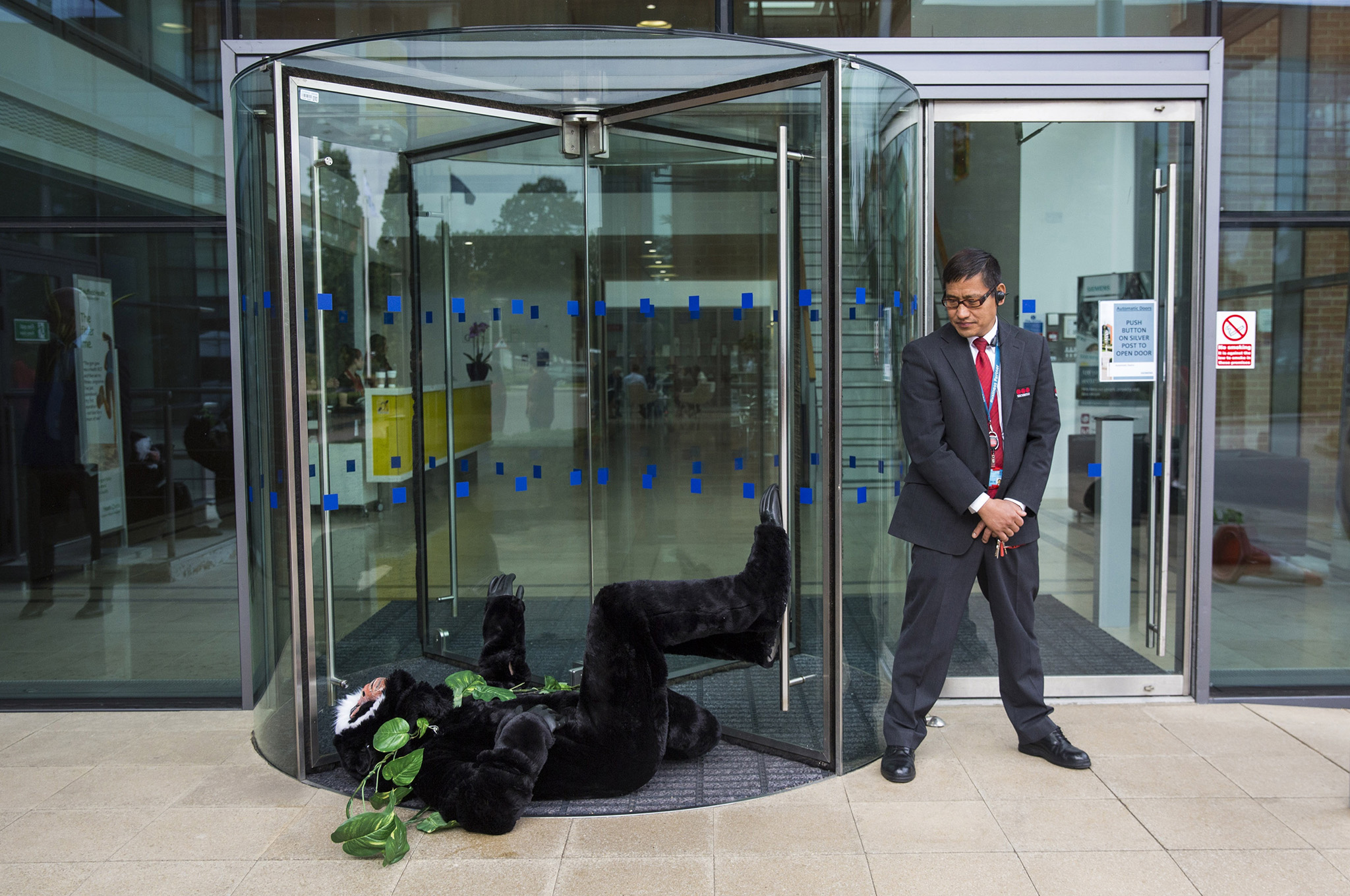 CAMBERLEY, ENGLAND - AUGUST 11: A Siemens security guard looks on as a Greenpeace activist dressed in a monkey costume demonstrate outside the Siemens' UK headquarters on August 11, 2016 in Camberley, England. Greenpeace activists joined two members of the Amazonian Munduruku tribe at German engineering company Siemens' UK headquarters today to protest the building of mega dams in the Brazilian Amazon and to demand a meeting with senior management at the company. (Photo by Jack Taylor/Getty Images)