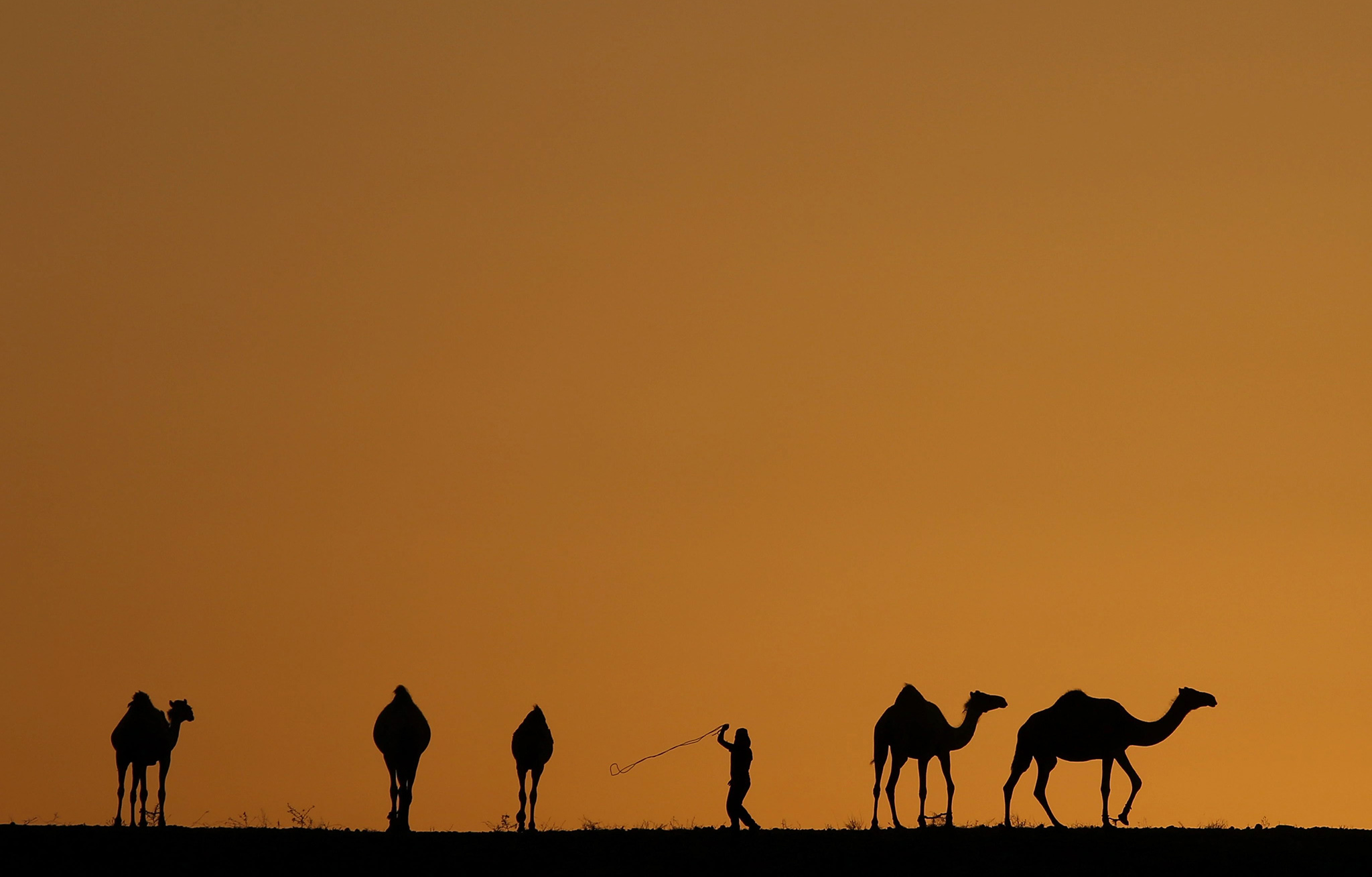 A young Bedouin lead his camel herd at sunset outside Beersheba, in southern Israel, 03 August 2016