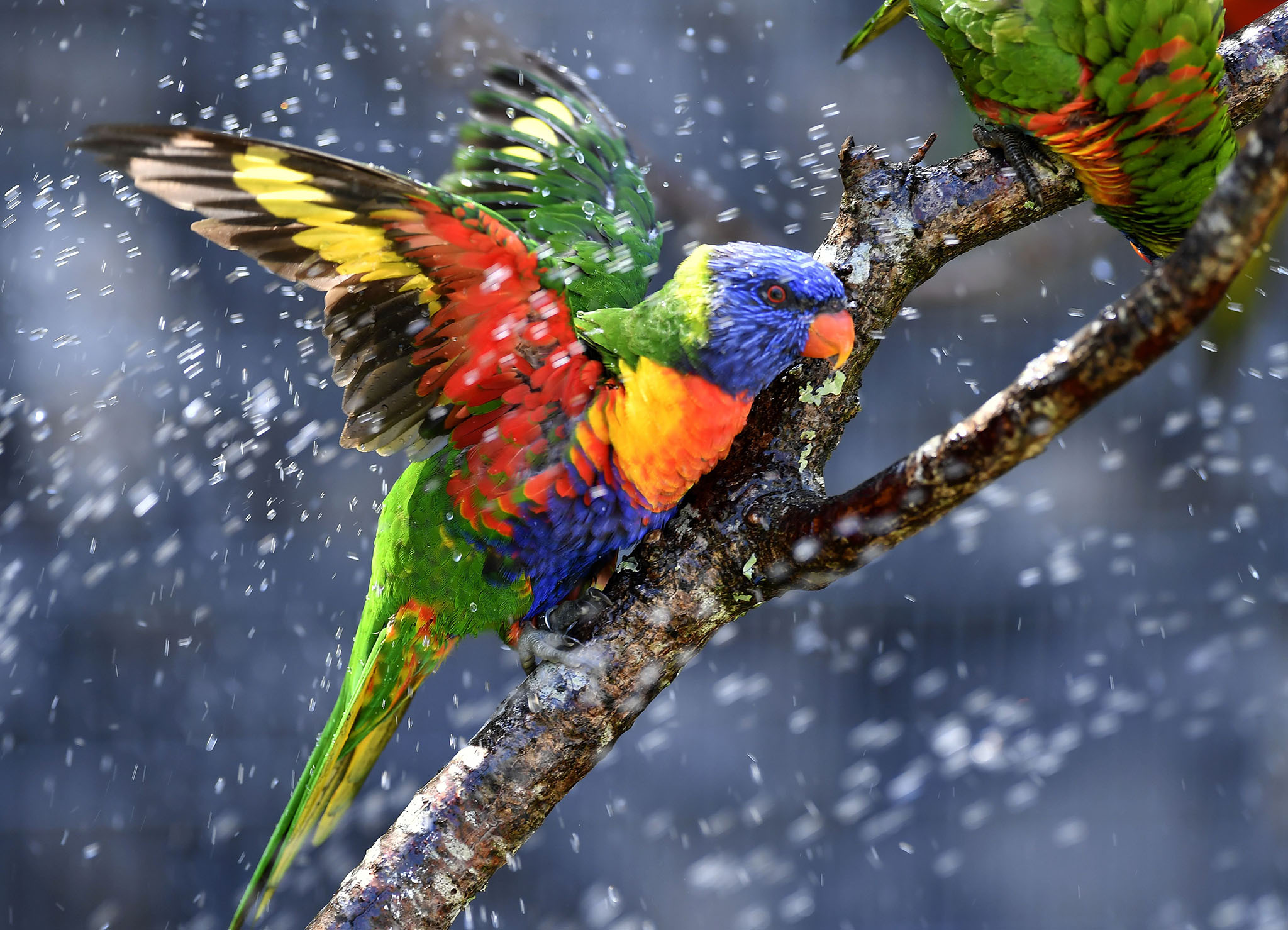 Australian rainbow lorikeets (parrots), cool off in a sprinkler on August 25, 2016, at the zoo of Pessac near Bordeaux, as temperatures soar across the countr
