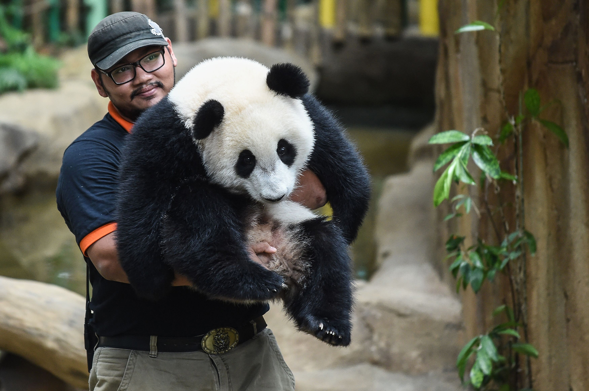 A keeper carries one-year-old female giant panda cub Nuan Nuan inside her enclosure during joint birthday celebrations for the panda and its ten-year-old mother Liang Liang at the National Zoo in Kuala Lumpur on August 23, 2016.  Giant pandas Liang Liang, aged 10, and her Malaysian-born cub Nuan Nuan, 1, were born on August 23, 2006 and August 18, 2015 respectivetly. / AFP PHOTO / MOHD RASFANMOHD RASFAN/AFP/Getty Images