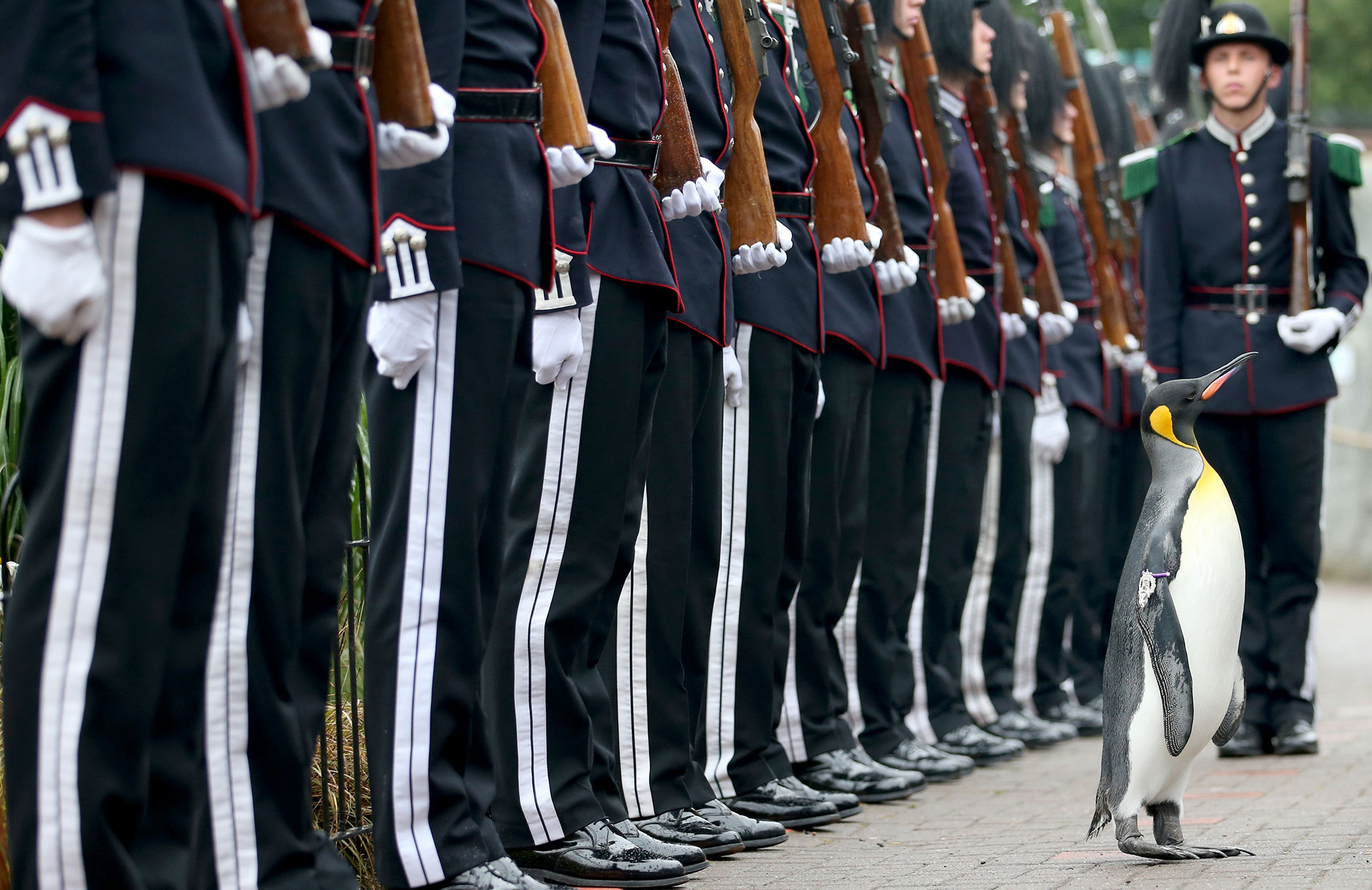 "Uniformed soldiers of the King of Norway's Guard parade for inspection by their mascot, king penguin Nils Olaf, who was awarded a knighthood in 2008, at RZSS Edinburgh Zoo, as they announce the penguin's promotion and new title of ""Brigadier Sir Nils Olav"". PRESS ASSOCIATION Photo. Picture date: Monday August 22, 2016. The prestigious title was awarded during a special ceremony which was attended by over 50 uniformed soldiers of His Majesty the King of Norway's Guard, who are taking part in The Royal Edinburgh Military Tattoo this year. Sir Nils paraded his way up Penguin Walk, whilst inspecting the soldiers of the Guard. The regal, black, white and yellow bird is the mascot of His Majesty the King of Norway's Guard and his honour is approved by King Harald V of Norway. See PA story SCOTLAND Penguin. Photo credit should read: Jane Barlow/PA Wire"