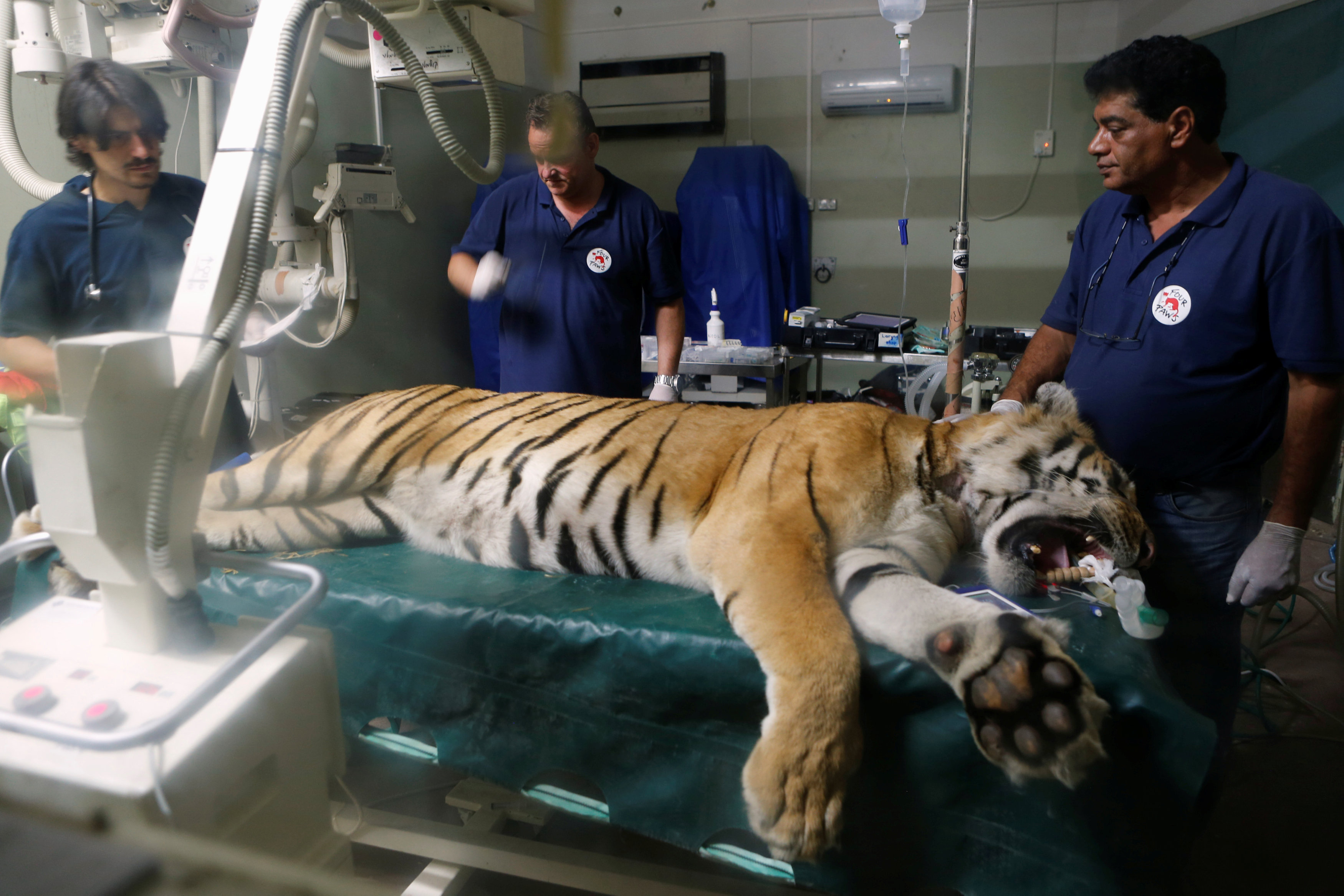 "Laziz, an 8-year-old tiger, part of group of 15 animals from Gaza, the last survivors of the ""worst zoo in the world"", where dozens of animals died of starvation, is checked at the Hebrew University Veterinary Teaching Hospital in Rishon LeZion in Israel"