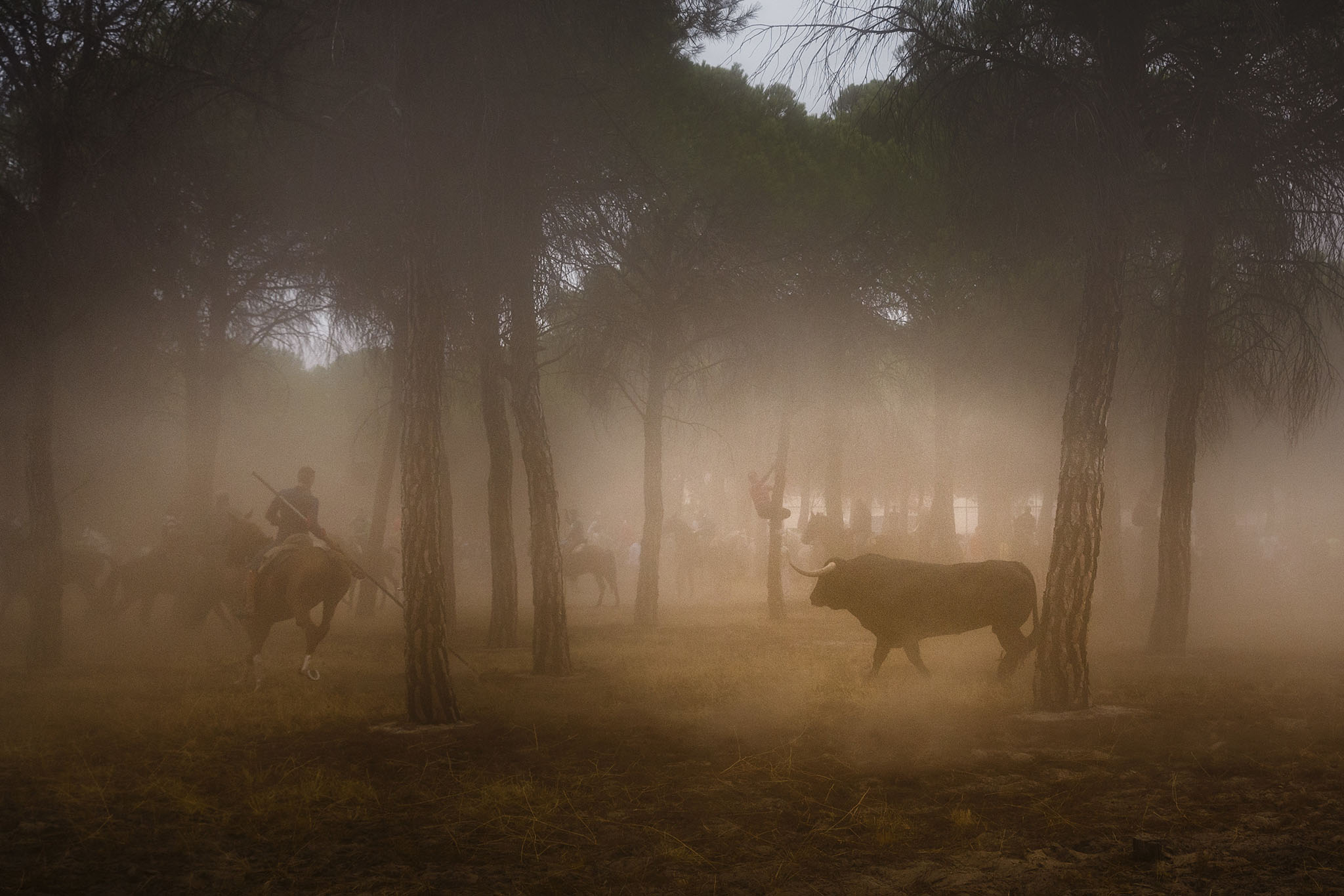 Men on horseback ride trough a pine tree forest chased by a a brave bull in Tordesillas, Spain, Tuesday, Sept. 13, 2016 . Men on horseback and on foot traditionally have chased the bull and speared it in front of thousands of onlookers in what became known as one of Spain's goriest spectacles, but amid increasing protests by animal rights activists the regional government last year banned the killing of bulls at town festivals, though traditional bullfights were not affected. (AP Photo/Daniel Ochoa de Olza)