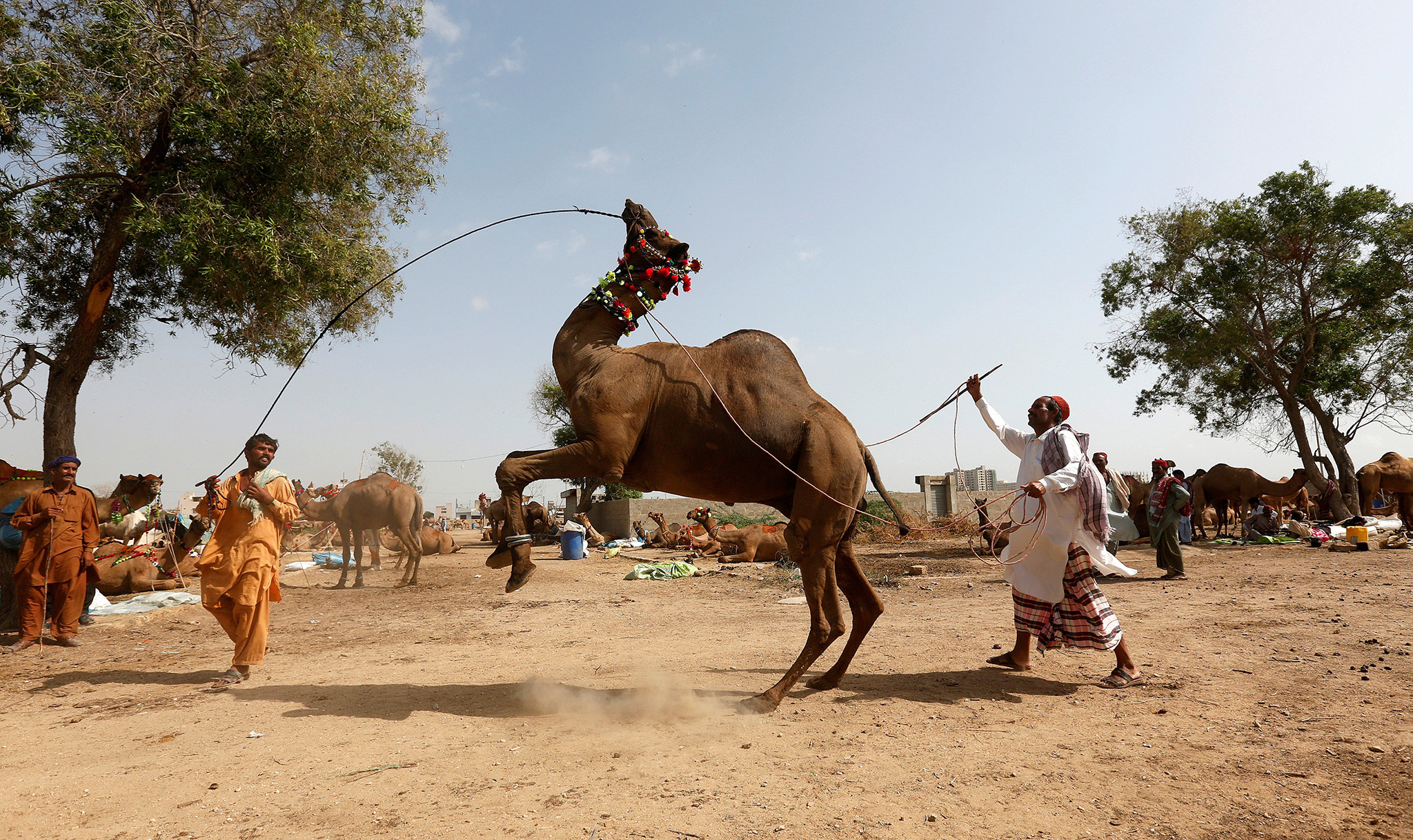 A camel held in ropes by its traders performs a dance to attract customers at a makeshift cattle market, ahead of the Eid al-Adha festival in Karachi, Pakistan September