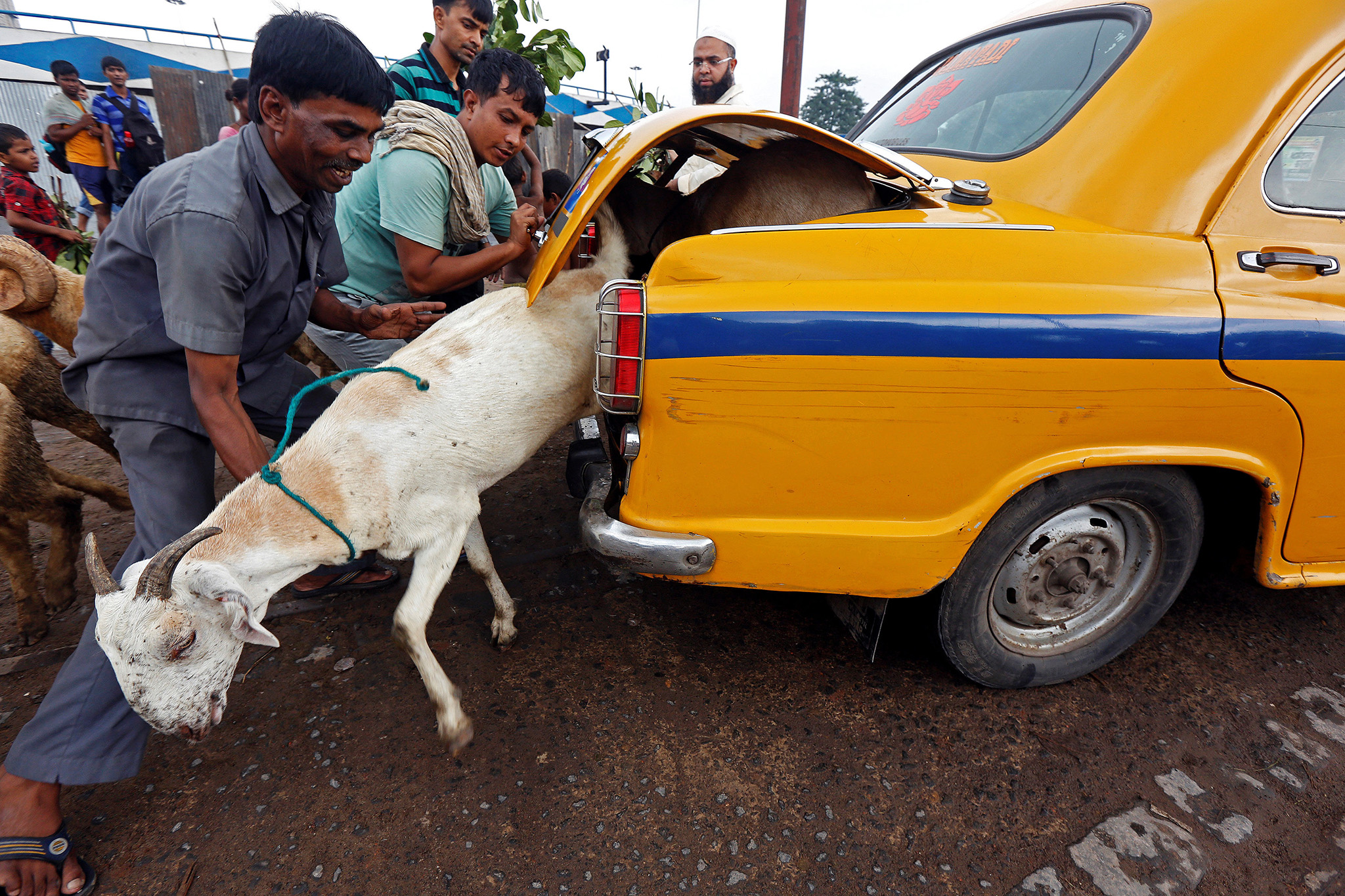A goat tries to escape from the boot of a taxi after being purchased at a livestock market ahead of the Eid al-Adha festival in Kolkata, India, September 8, 2016. REUTERS/Rupak De Chowdhuri     TPX IMAGES OF THE DAY