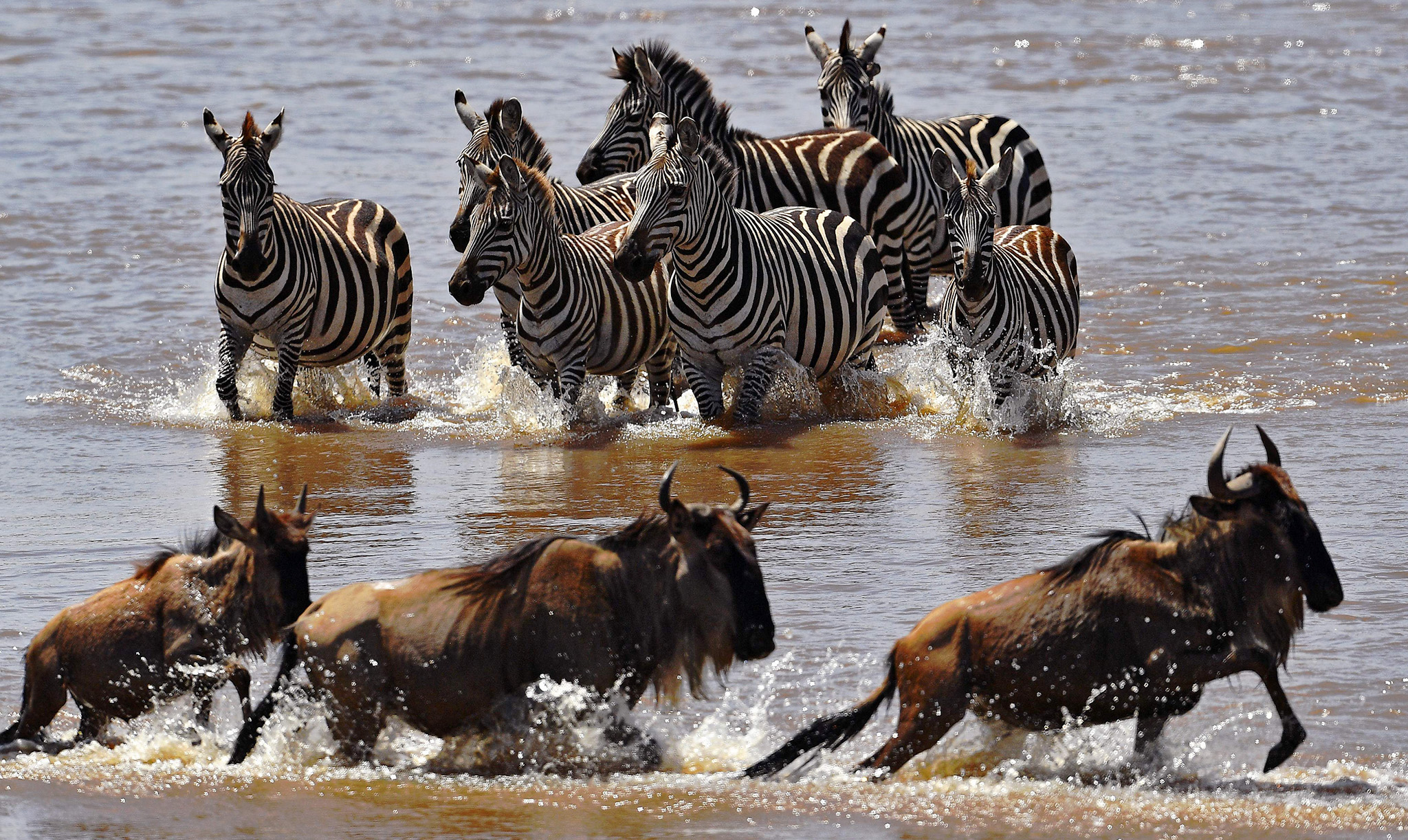 Zebras walk towards crossing wildebeest in the Mara river during the annual wildebeest migration in the Masai Mara game reserve on September 13, 2016.  / AFP PHOTO / CARL DE SOUZACARL DE SOUZA/AFP/Getty Images