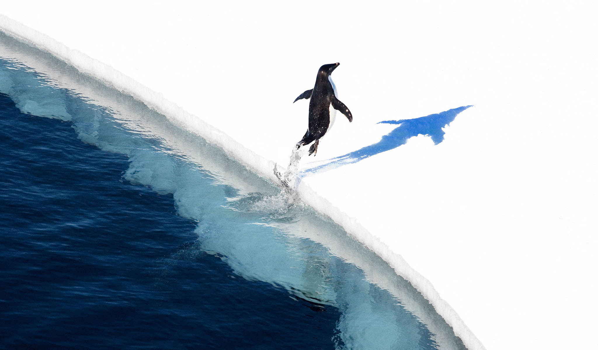 "TOPSHOT - This undated handout photo received from the Antarctic Ocean Alliance on October 28, 2016 shows a adelie penguin jumping onto the ice in the Ross Sea in Antarctica. The world's largest marine reserve aimed at protecting the pristine wilderness of Antarctica will be created after a ""momentous"" agreement was finally reached on October 28, 2016 with Russia dropping its long-held opposition. / AFP PHOTO / Antarctic Ocean Alliance / John Weller / RESTRICTED TO EDITORIAL USE - MANDATORY CREDIT  ""AFP PHOTO  / ANTARCTIC OCEAN ALLIANCE / JOHN WELLER"" - NO MARKETING NO ADVERTISING CAMPAIGNS - DISTRIBUTED AS A SERVICE TO CLIENTS - NO ARCHIVES - NO SALES - ONE TIME USE - TO BE USED EXCLUSIVELY WITH AFP STORY ANTARCTICA-AUSTRALIA-ENVIRONMENT-CONSERVATION / JOHN WELLER/AFP/Getty Images"