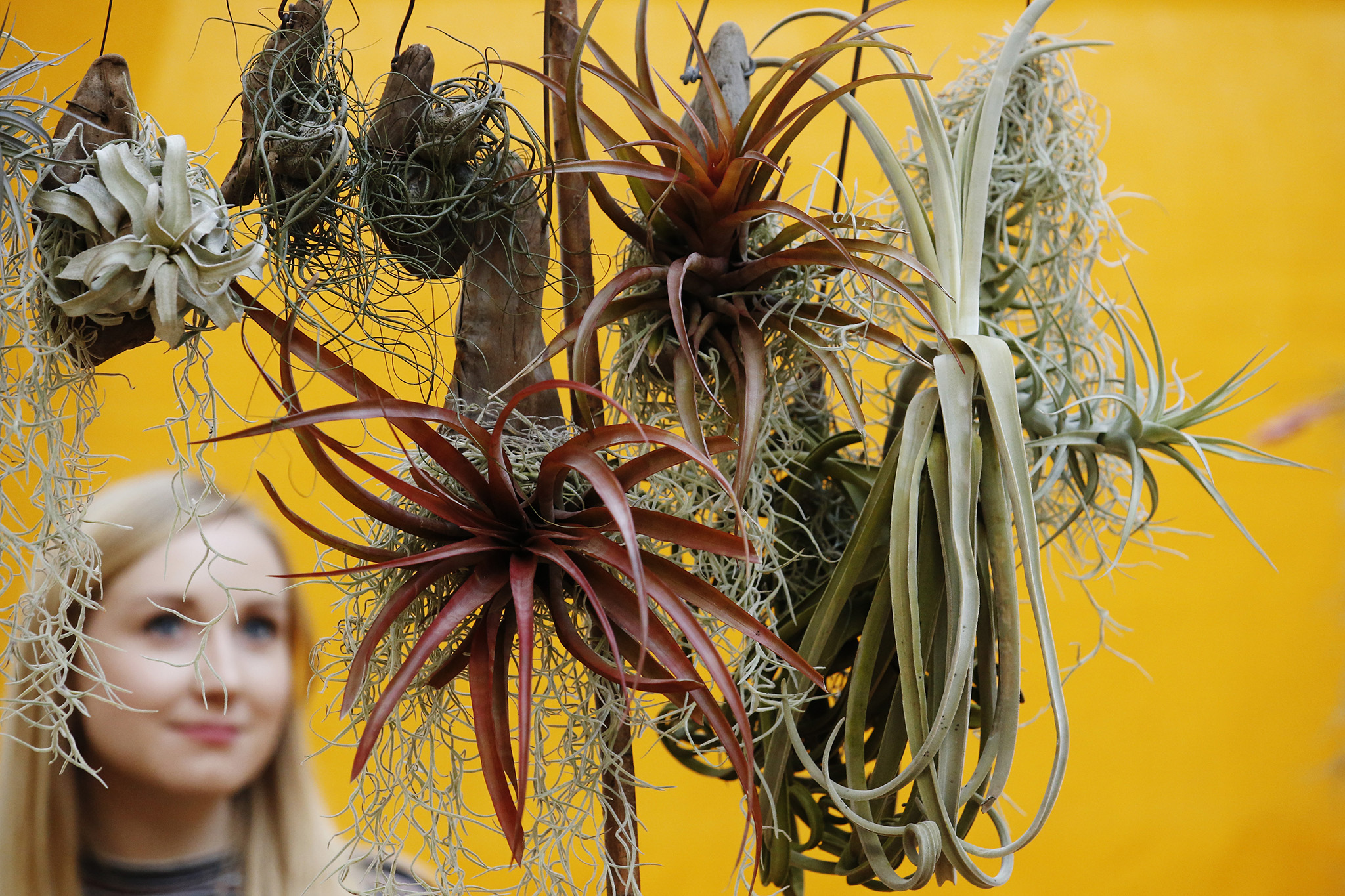 An RHS employee views airplants diplayed on the Aldo Airplants exhibition display at the RHS London Shades of Autumn Show at RHSHorticultural Halls in London Friday October 28, 2016. Luke MacGregor / RHS