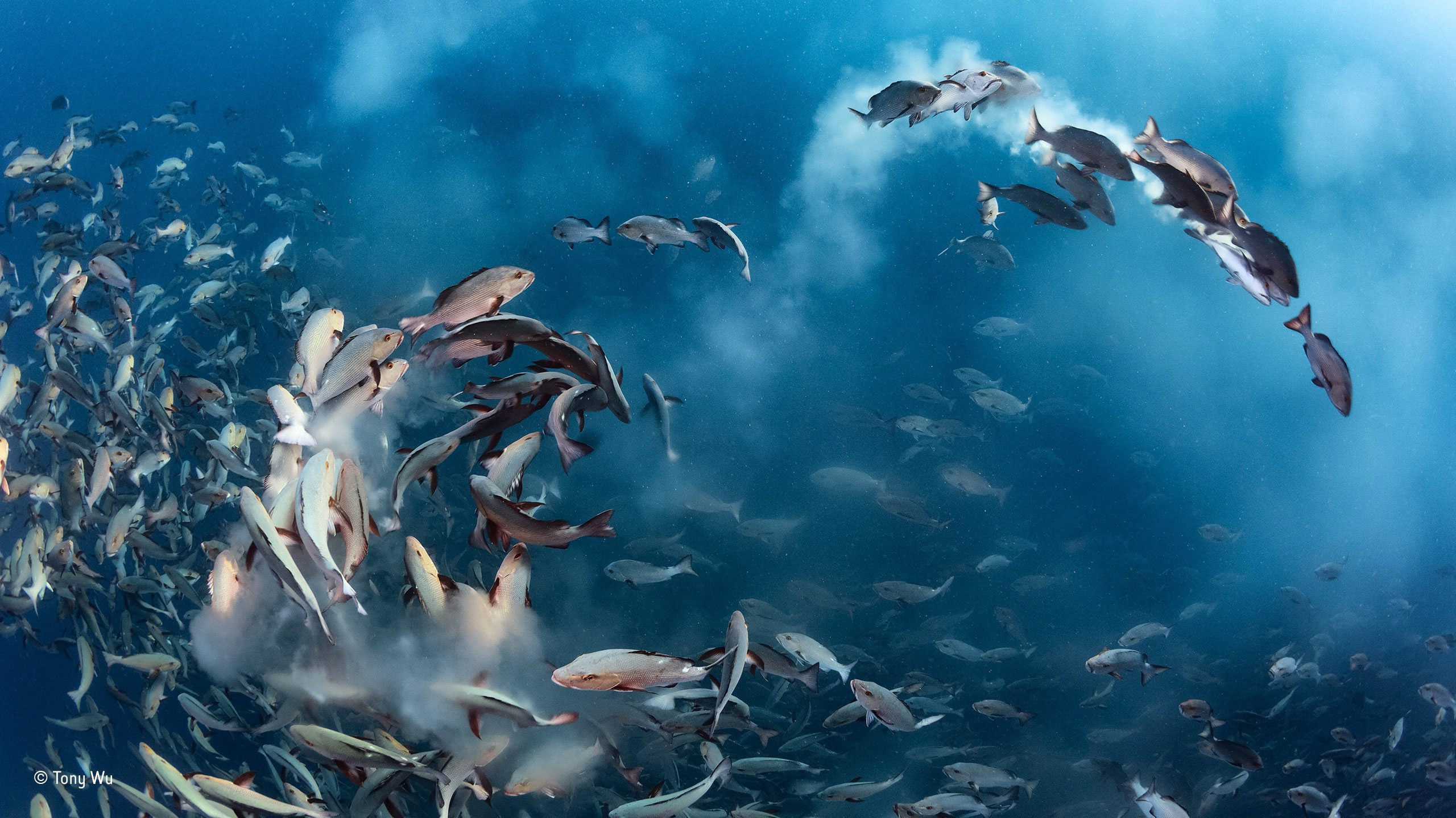 epa05593700 A handout picture provided by Wildlife Photographer of the Year. Snapper party, Tony Wu, US  Winner, underwater category For several days each month, thousands of two spot red snappers gather to spawn around Palau in the western Pacific Ocean. The action is intense as the fish fill the water with sperm and eggs, and predators arrive to take advantage of the bounty. Noticing that the spawning ran 'like a chain reaction up and down the mass of fish', Wu positioned himself so that the action came to him. On this occasion, with perfect anticipation, he managed to capture a dynamic arc of spawning fish amid clouds of eggs in the oblique morning light.  EPA/TONY WU / WILDLIFE PHOTOGRAPHER OF THE YEAR Wildlife Photographer of the Year is developed and produced by the Natural History Museum, London.  HANDOUT EDITORIAL USE ONLY/NO SALES HANDOUT EDITORIAL USE ONLY/NO SALES