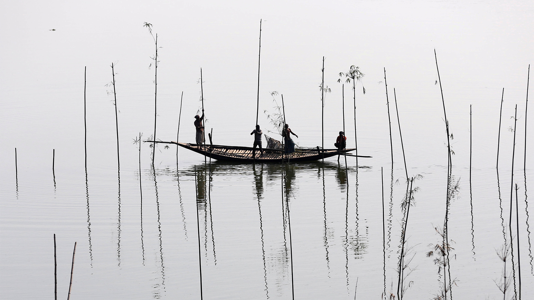 Fishermen place bamboo, where they will later place tree branches and fish food, to catch fish in a river in Dhaka