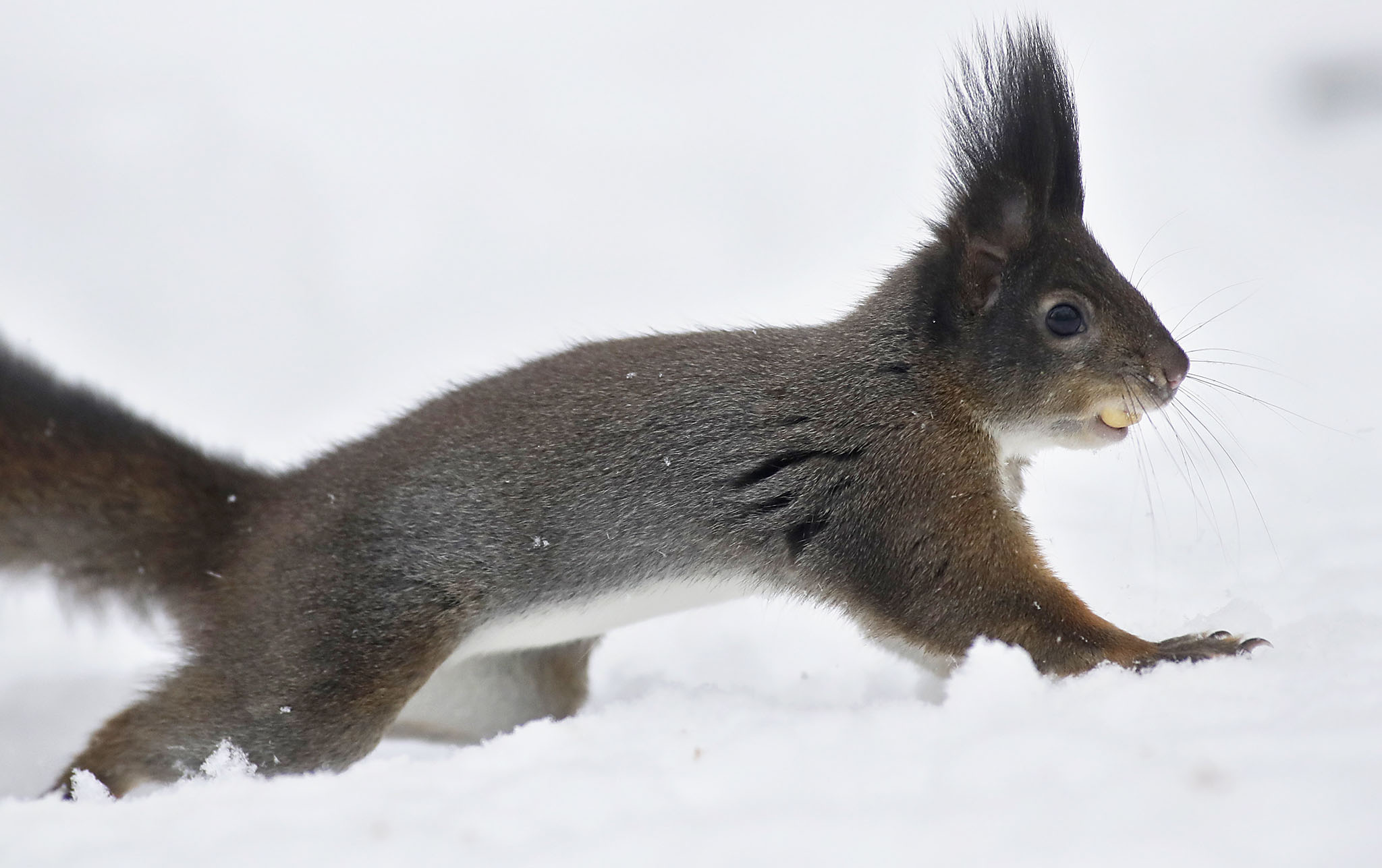 A squirrel carries a nut in a park after a heavy snowfall in Minsk, Belarus, Thursday, Nov. 10, 2016. Winter weather with snow continues to prevail in Belarus. (AP Photo/Sergei Grits)