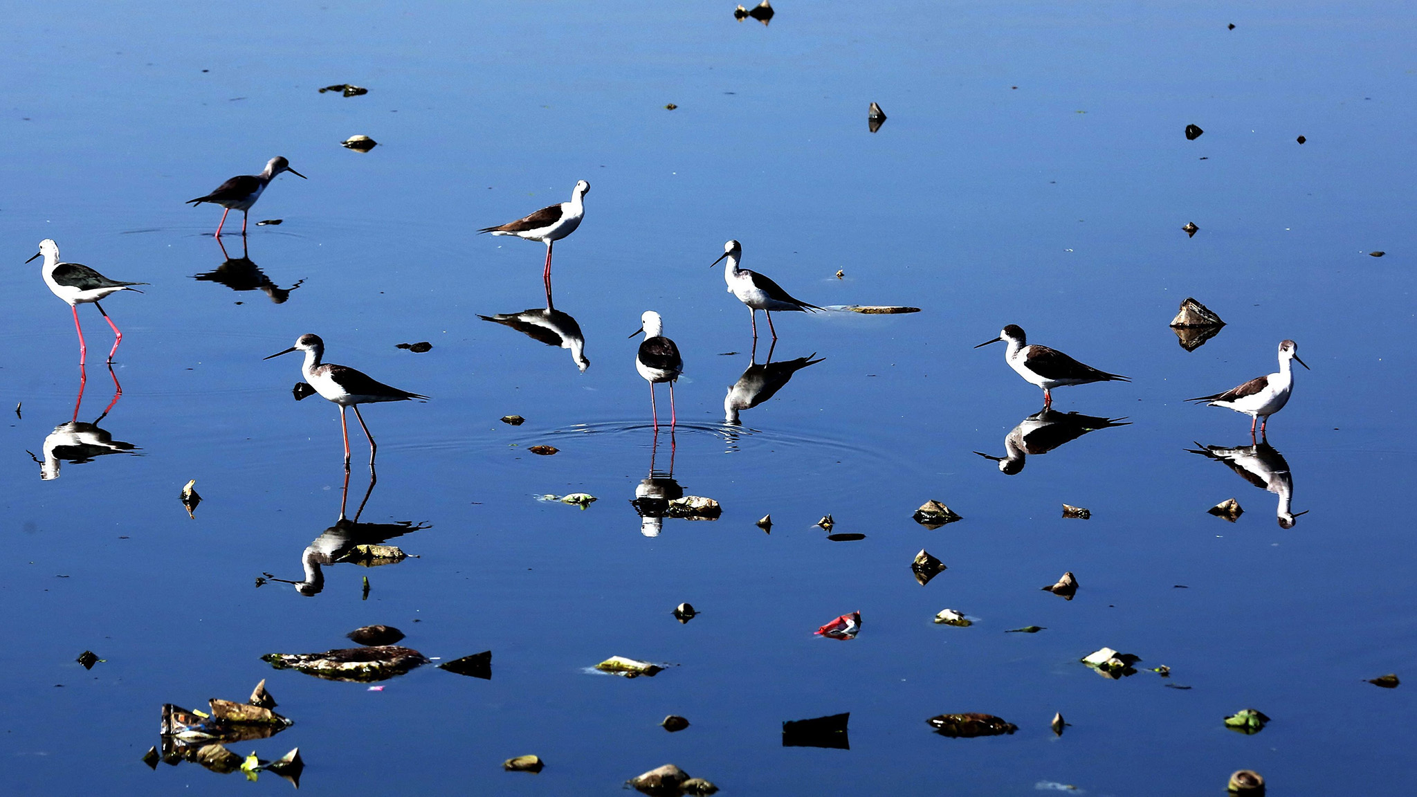 Black-winged Stilt migratory birds fly over the Shahpura lake on the onset of winter season in Bhopal, India, 25 November 2016. Every year, several different species of birds arrive at the lake in search for warmer areas.  EPA/SANJEEV GUPTA