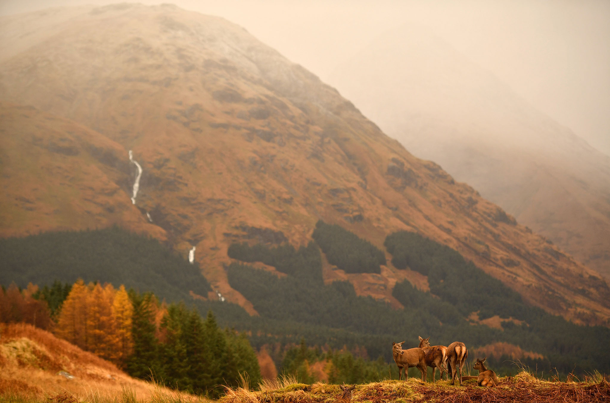 NOVEMBER 16:  Scottish red deer graze in Glen Etive following the end of the rutting season on Novemebr 16, 2016 in Glen Etive,Scotland. The rutting season sees the large dominant red deer stags compete against each other for mating rights and can be heard roaring and bellowing in an attempt to attract the hinds. The rut draws to a close in early November when the stags spend the winter feeding to regain strength for the following season.  (Photo by Jeff J Mitchell/Getty Images)