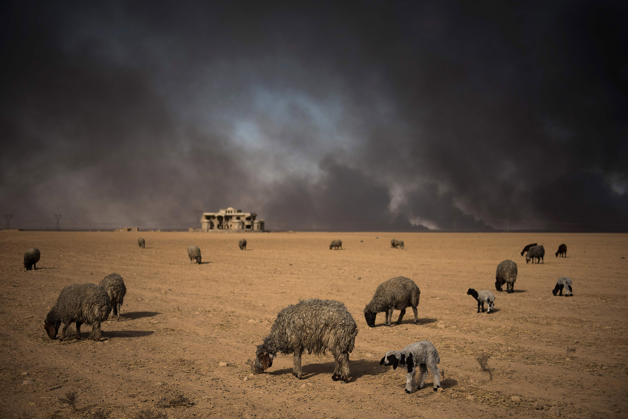 Blackened sheep graze as oil wells, set ablaze by retreating Islamic State (IS) jihadists, burn in the background, in the town of Qayyarah, some 70 km south of Mosul on November 20, 2016. Locals told AFP that they face a range of health issues including breathing difficulties, and sheperds said they could not sell their livestock as the sheep's fleece was blackened by smoke. / AFP PHOTO / Odd ANDERSENODD ANDERSEN/AFP/Getty Images