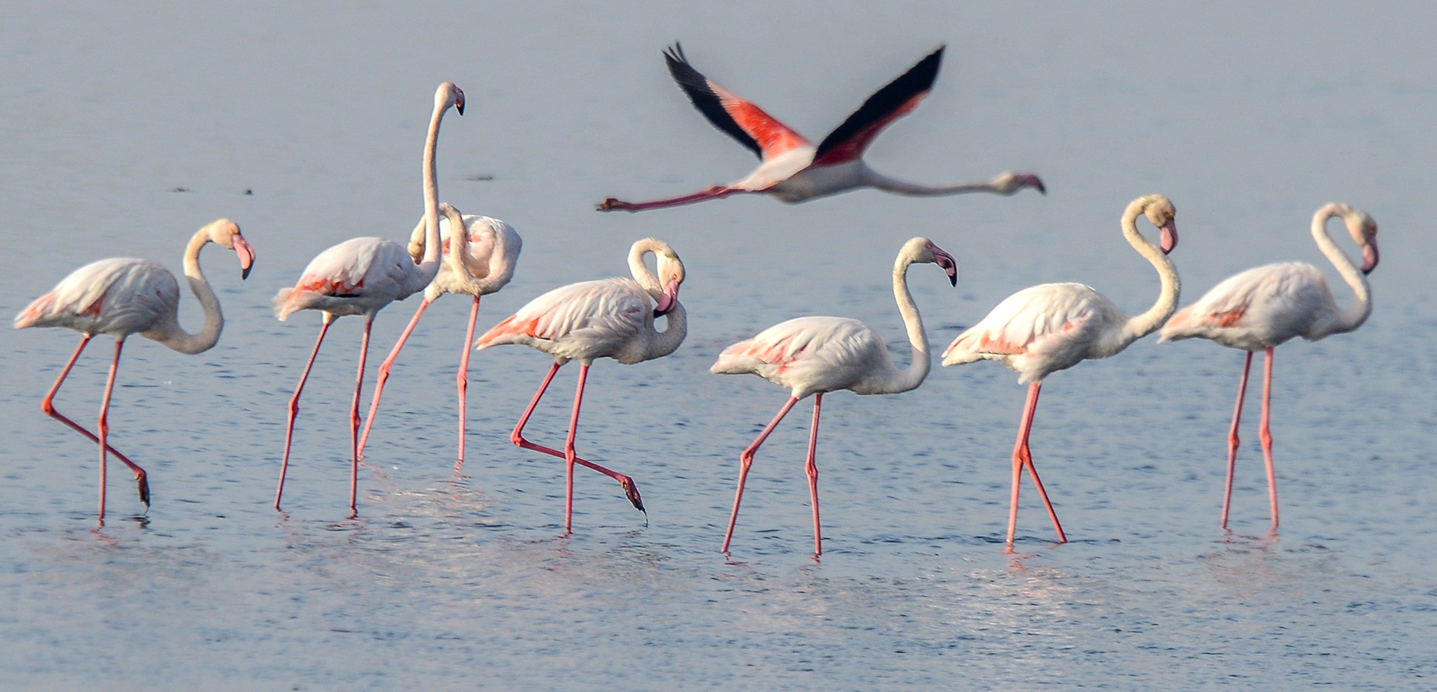 Migratory birds of the flamingo species congregate at the shore of Kuwait City, Kuwait, 06 December 2016. Flamingos and other migratory birds are having regular appearances on the coast at the beginning of warm winter in Kuwait.  EPA/RAED QUTENA