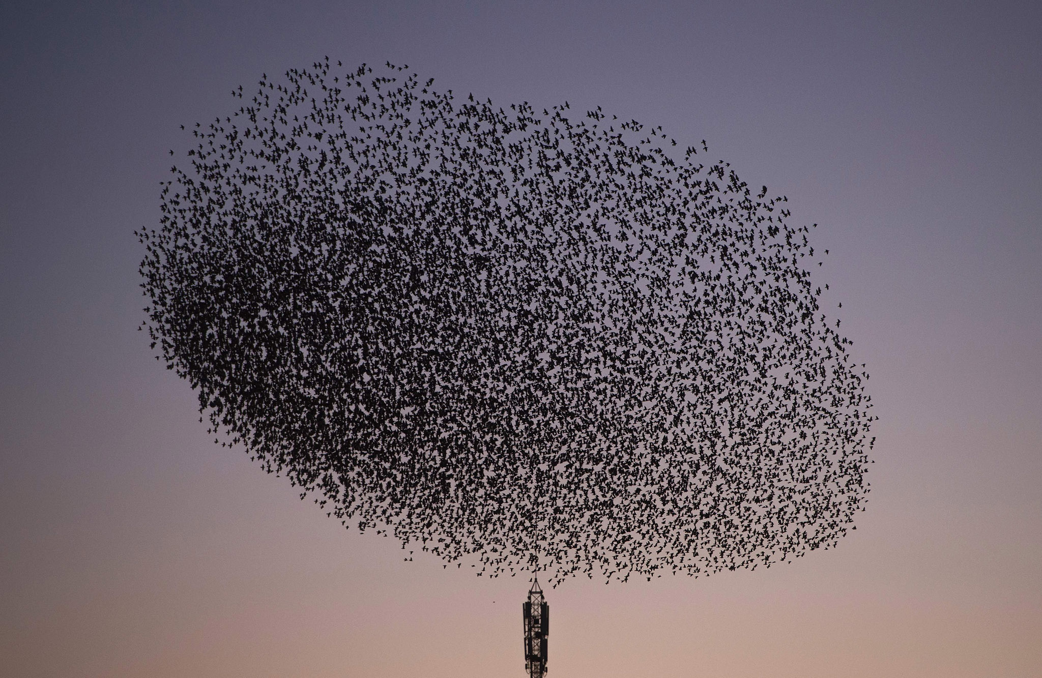 A picture taken on January 17, 2016 shows a murmuration of starlings in the sky of Pontevedra, northwestern Spain. / AFP PHOTO / MIGUEL RIOPAMIGUEL RIOPA/AFP/Getty Images