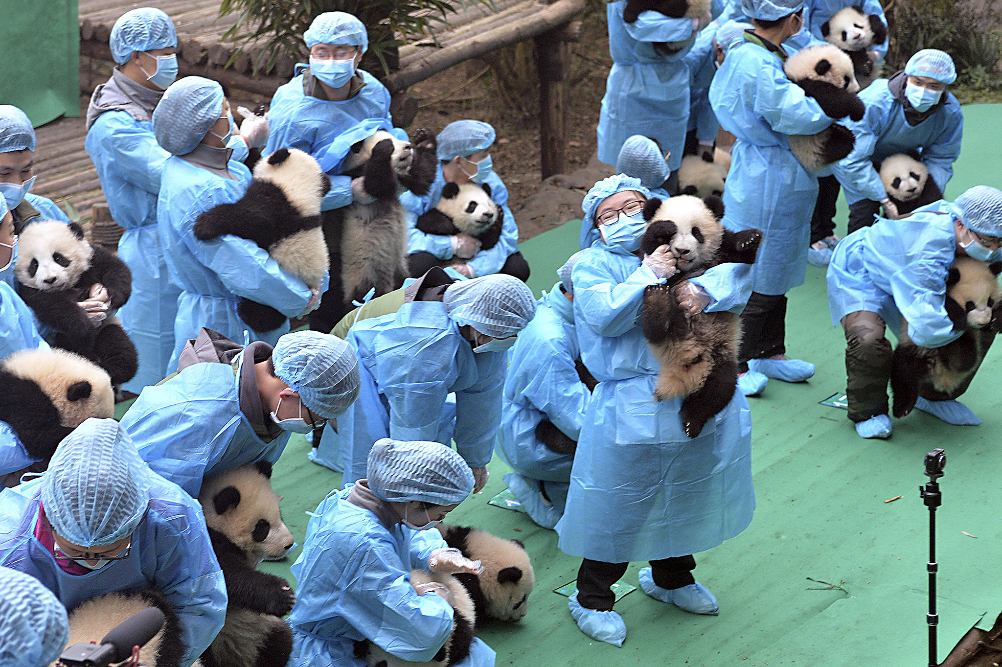 Staff members hold 23 panda cubs born in 2016 at the Chengdu Panda Breeding Base for a group photo to ring in the coming Chinese Lunar New Year in Chengdu, southwest China's Sichuan province, Friday Jan. 20, 2017. (Chinatopix Via AP)