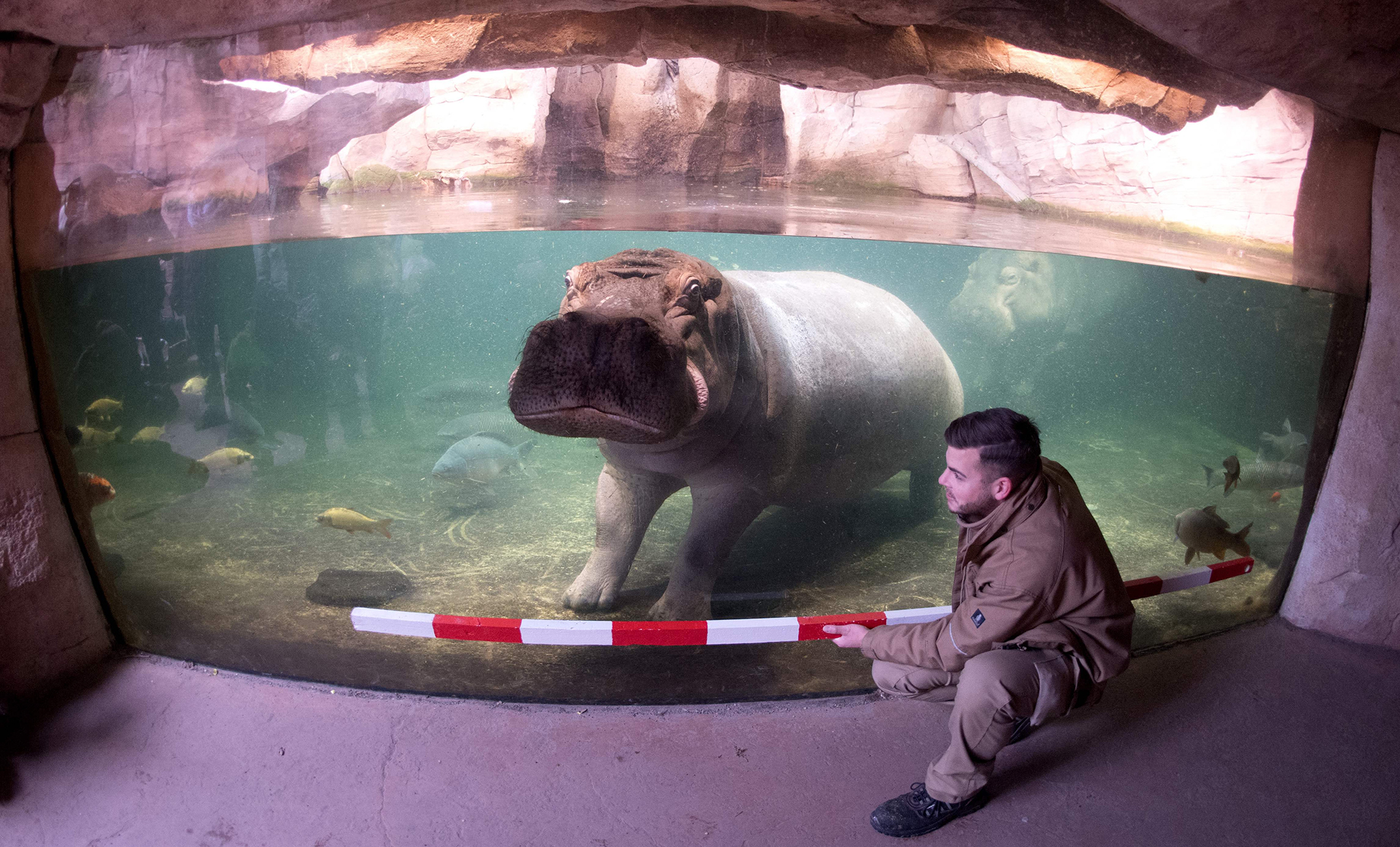 A keeper measures a hippo on January 12, 2017 in Hannover zoo.  / AFP PHOTO / dpa / Julian Stratenschulte