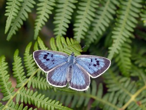 Large blue on bracken (courtesy of David Simcox, CEH)