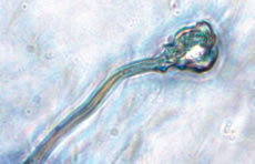 Sperm made from embryonic stem cell